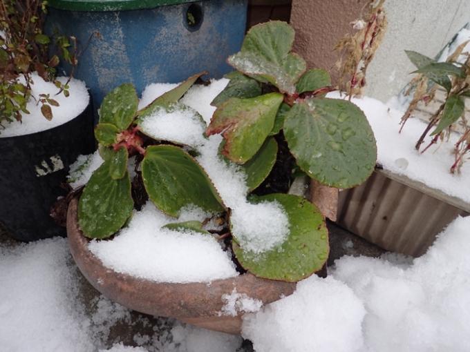 雪の朝 ヒマラヤユキノシタ