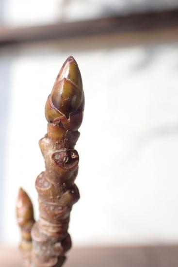 モミジバフウの冬芽