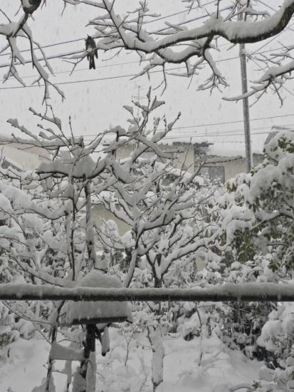 ヒヨドリと大雪