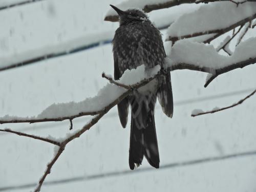 雪の中のヒヨドリ