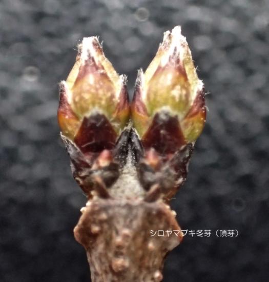 シロヤマブキ葉痕・頂芽