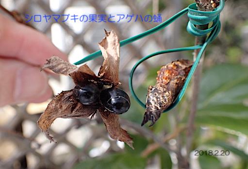シロヤマブキの果実と蛹