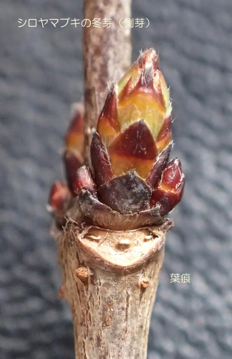 シロヤマブキ葉痕・側芽