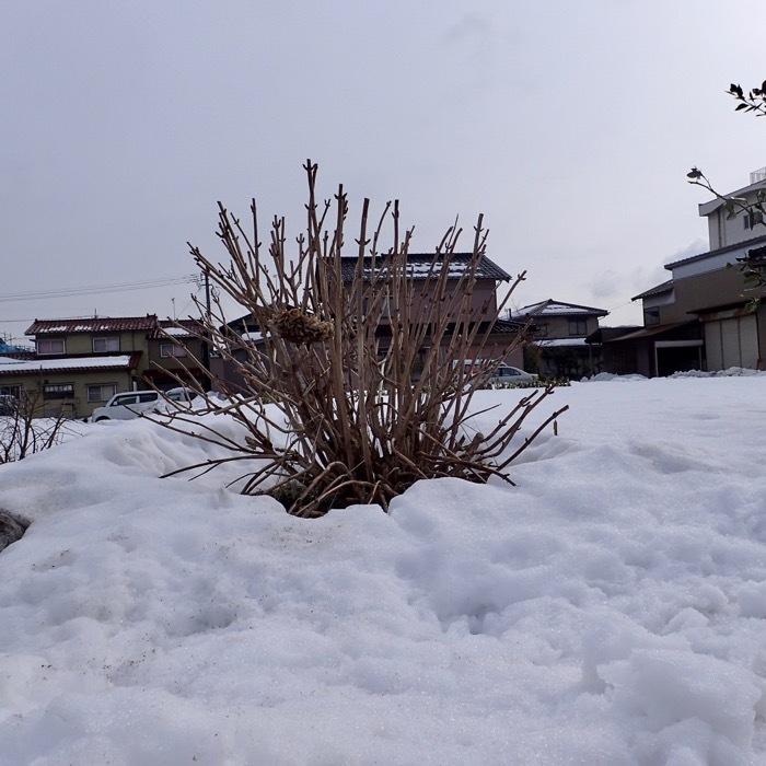 冬枯れのアジサイ