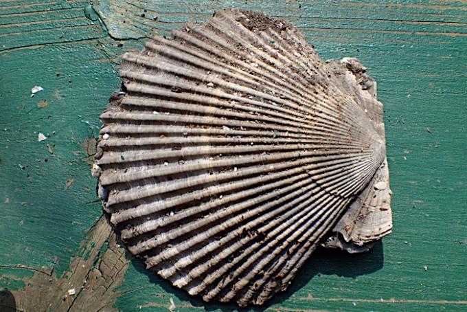 貝の化石1