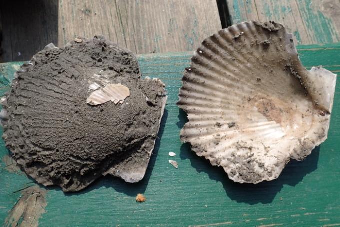 貝の化石2