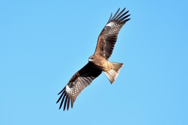 【オーストラリア】火を使って狩りをする「鳥」がいたことが確認される!山火事の原因にもなっていた?