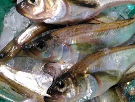 hatahata_fish6465.jpg