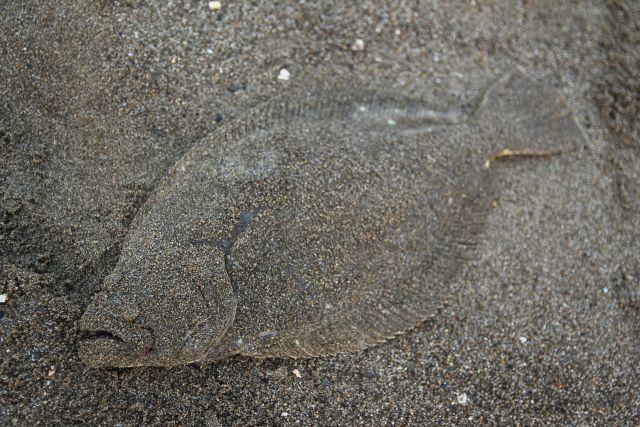 福島県沖でとれた「ヒラメ」の海外への輸出計画…3月にタイ・バンコクへ出荷