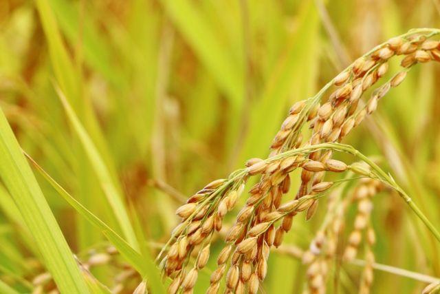 【2020年】福島産の「お米」全袋検査縮小へ…セシウム基準値超えの「米」は過去3年でゼロ