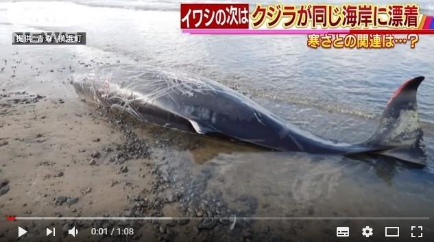 【前触れ】青森の大量の「イワシ」が漂着した海岸に、今度は「オウギハクジラ」が打ち上げられる