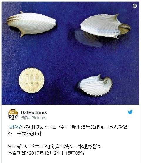 【千葉】館山の海岸に冬は珍しい「タコブネ」が続々打ち上げられているのが相次いで見つかる!