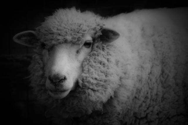 【キメラ】人間と羊の「ハイブリッド」の作製に成功…アメリカ、移植用臓器作成に前進