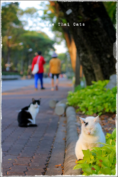 タイのヲソト猫182★2018猫撮り初め1