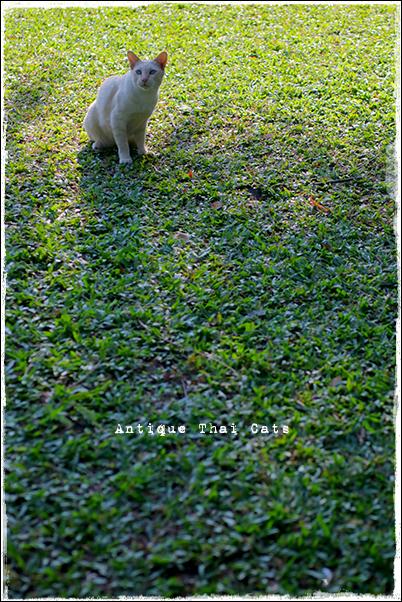 タイのヲソト猫182★2018猫撮り初め3