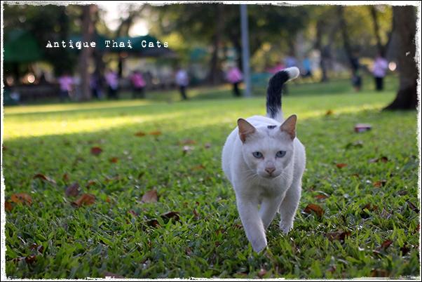 タイのヲソト猫182★2018猫撮り初め6