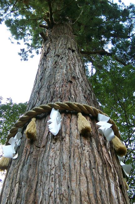 由岐神社(京都市左京区)の神木。