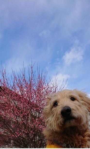 梅の花と空