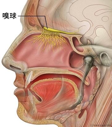 Head_olfactory_nerve_-_olfactory_bulb_ja.jpg
