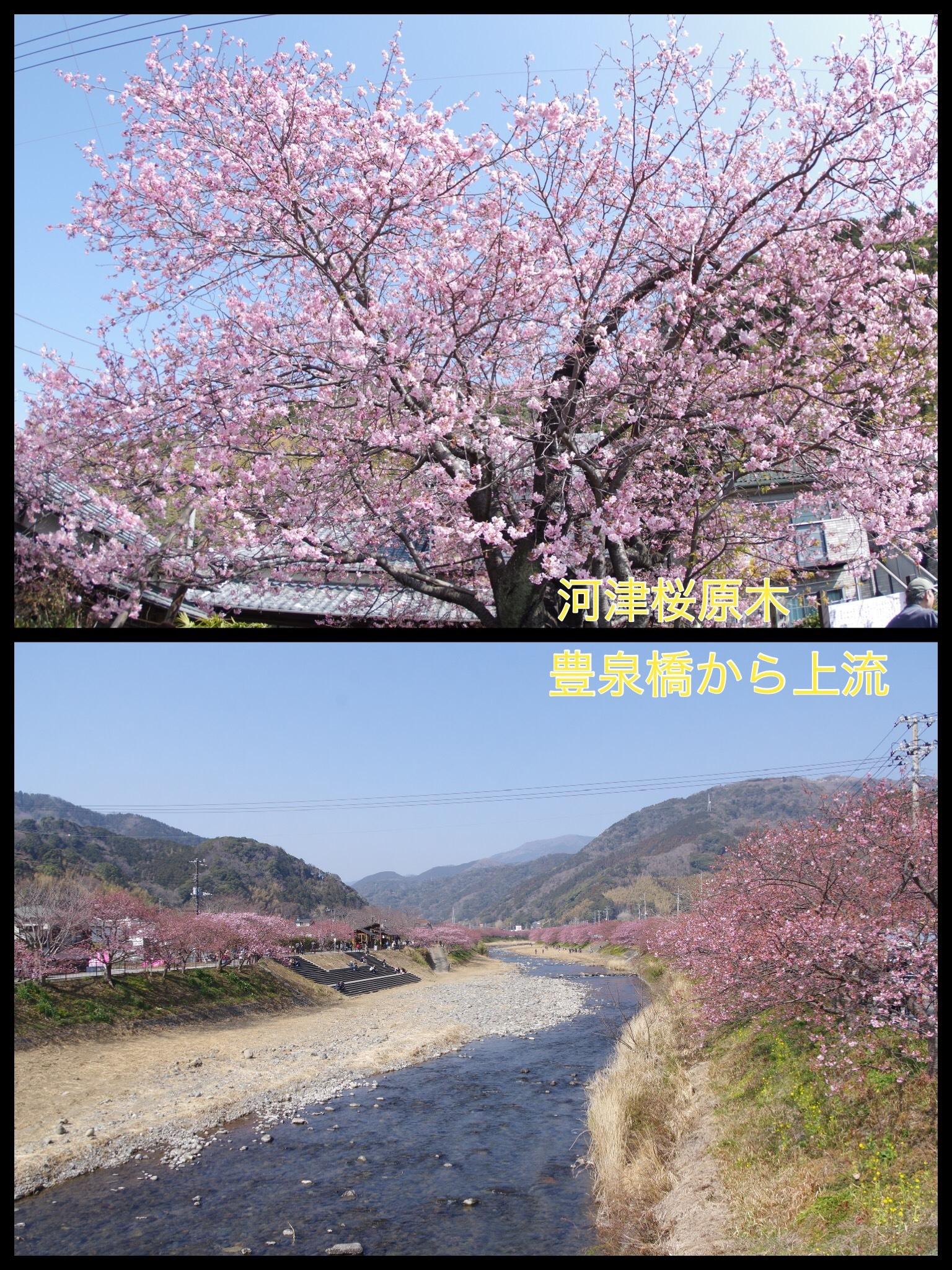 伊豆 河津桜まつり 2018