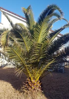 平成5年(25年前に購入した家の庭に植えたカナリーヤシ