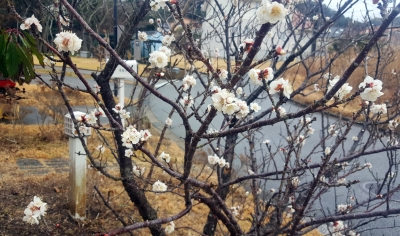 梅は8分咲き