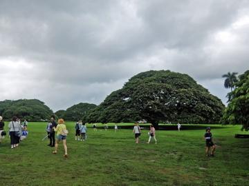 ハワイ077この木なんの木