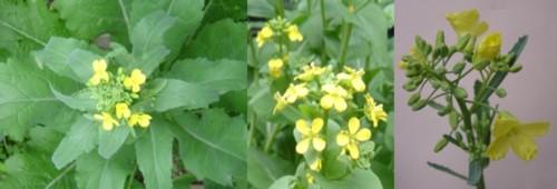 ①【ヘタその後】→緑の葉っぱ→黄色の花→種ができました。