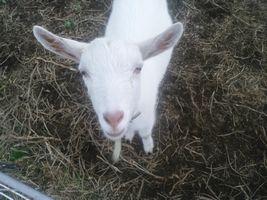 【写真】柵越しに上を見上げてこちらをみつめる子ヤギのポール