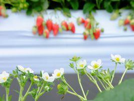 【写真】手前のいちごの花にフォーカスしたいちごハウスの様子