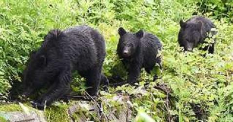 1【秋田市太平田の県道沿いで目撃された親子とみられるクマ】