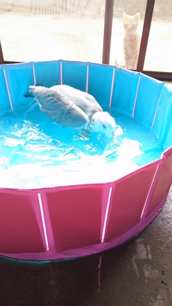 ジョナサンの水浴びを見物する茶トラちゃん(=^ェ^=)