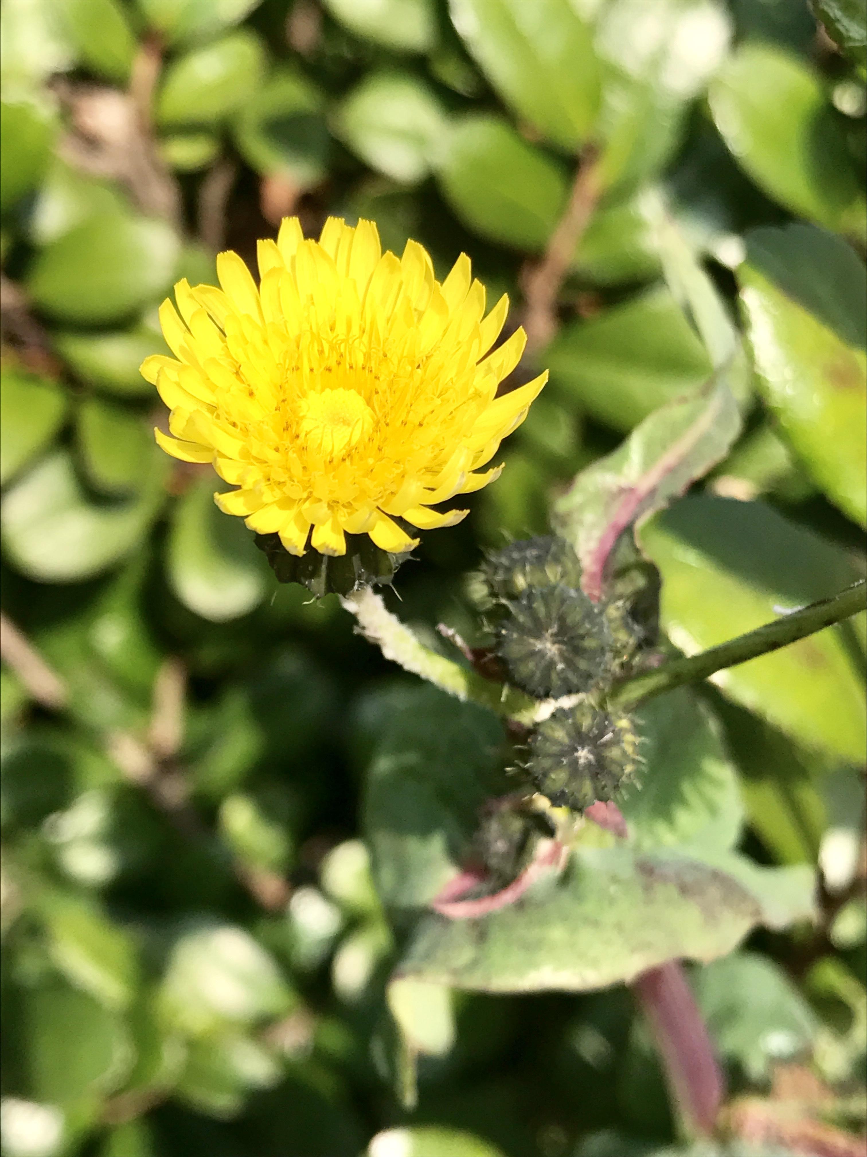 福岡の野花