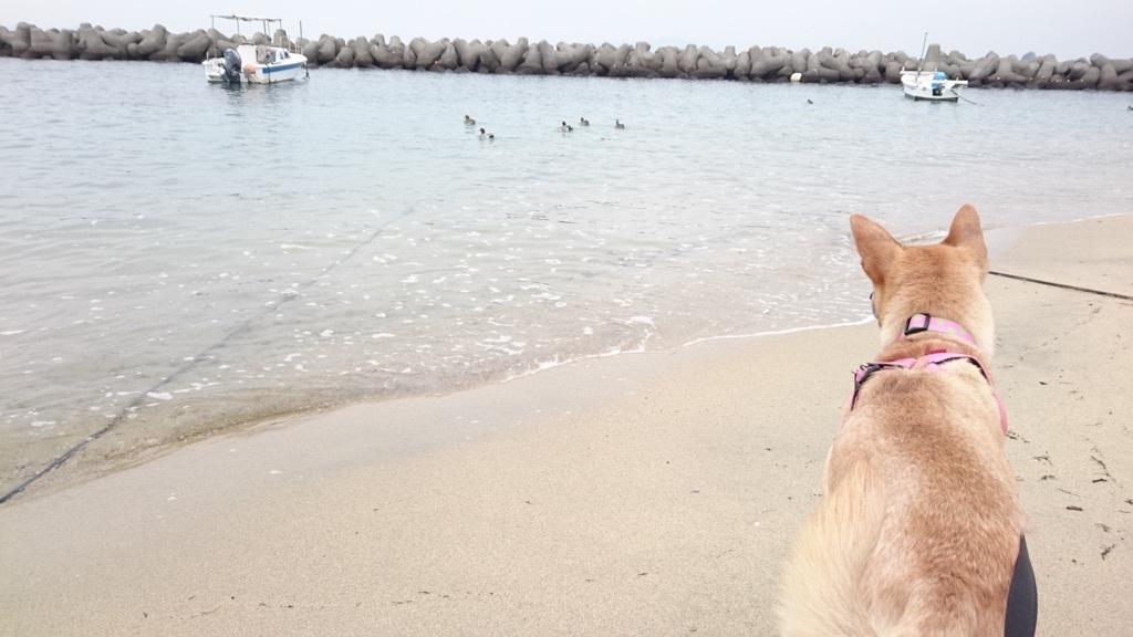 沖を泳ぐカモちゃん家族と一緒に遊びたくて仕方ないマリリン(((^_^;)