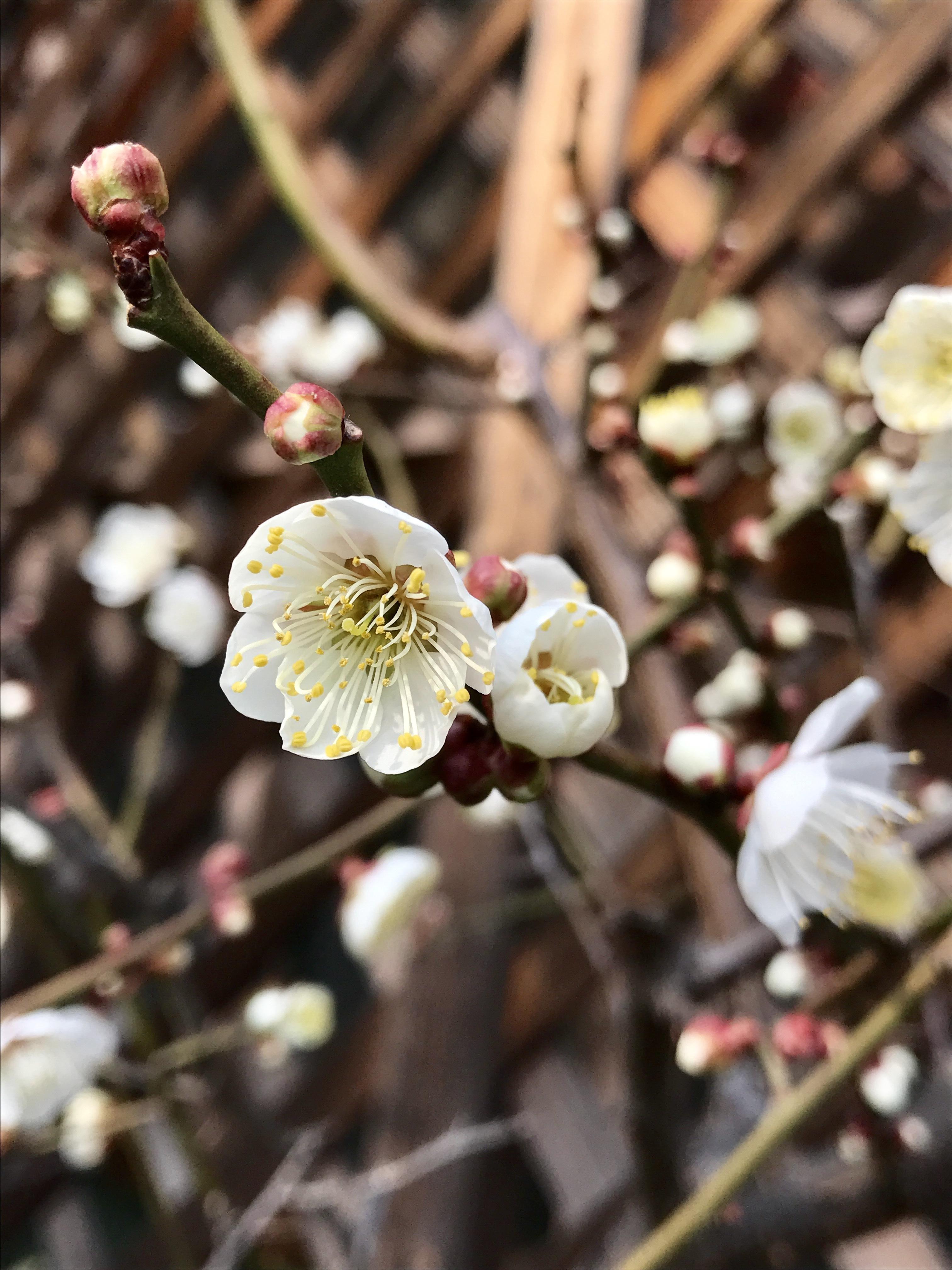 福岡に咲く梅の花