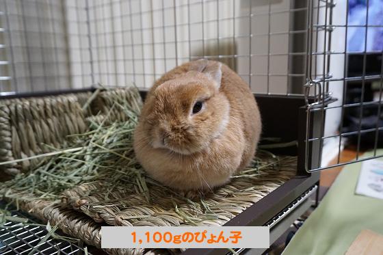 ぴょん子171231_03