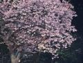 桜P2122224t