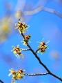P2180135マンサクの花