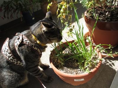 ベランダで猫草を食べる