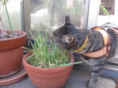 寒さに負けずに猫草を食べに出る