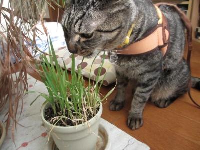 部屋に置いた猫草も食べる
