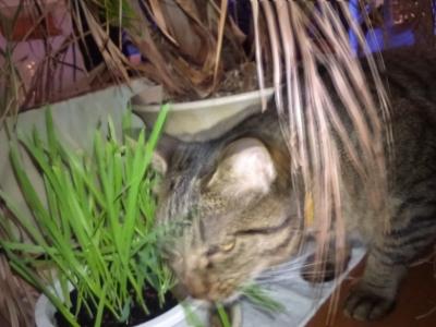 買ってきた猫草を食べる
