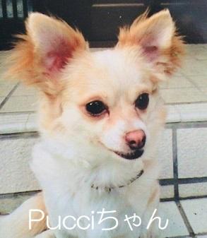 Pucciちゃん チワワ