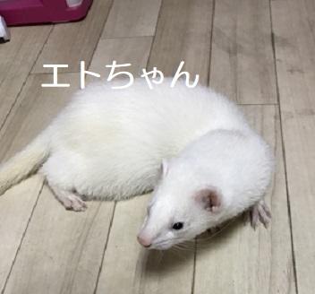 エトちゃん フェレット