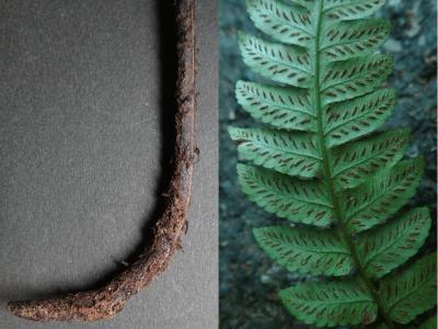 採集品の葉柄基部鱗片とソーラス