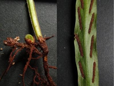 イワヤナギシダの葉柄基部とソーラス