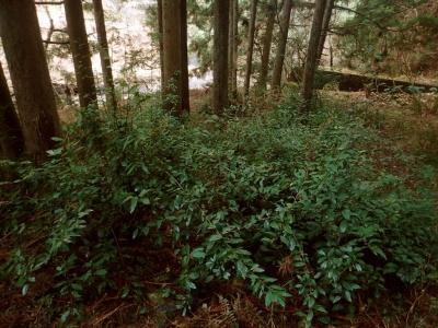 植林地の林床に繁茂するイズセンリョウ