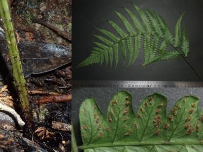 コウモウクジャクの鱗片、最下羽片、ソーラス