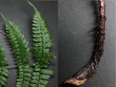 ヌカイタチシダモドキの下方の羽片と葉柄基部鱗片