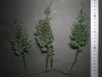 オオコケシノブ全草標本